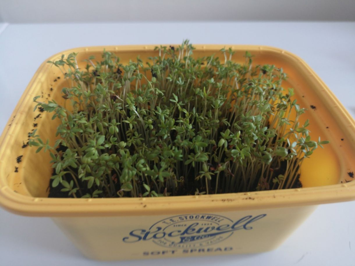 Gardening with Gardiners: Growing Cress from Seed image