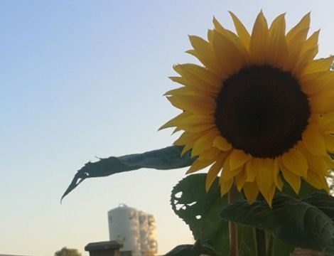 Gardening with Gardiners: Growing Sunflowers image